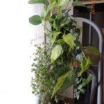 無印良品「壁にかけられる観葉植物」のレビューと成長の様子。2〜3ヶ月後。