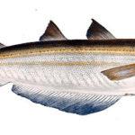 白身魚フライで使われるブルーホワイティングとは?特徴・産地・資源量を紹介。